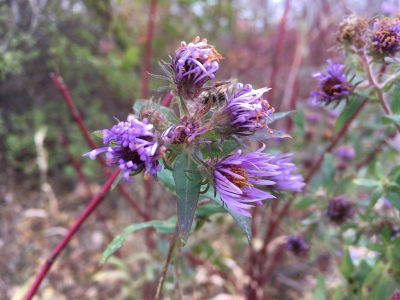 Aster in fall