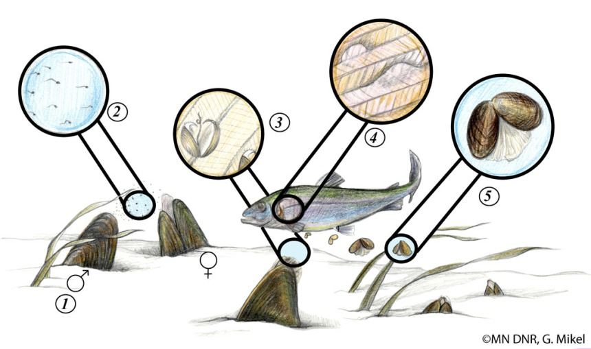 mussel_life_cycle
