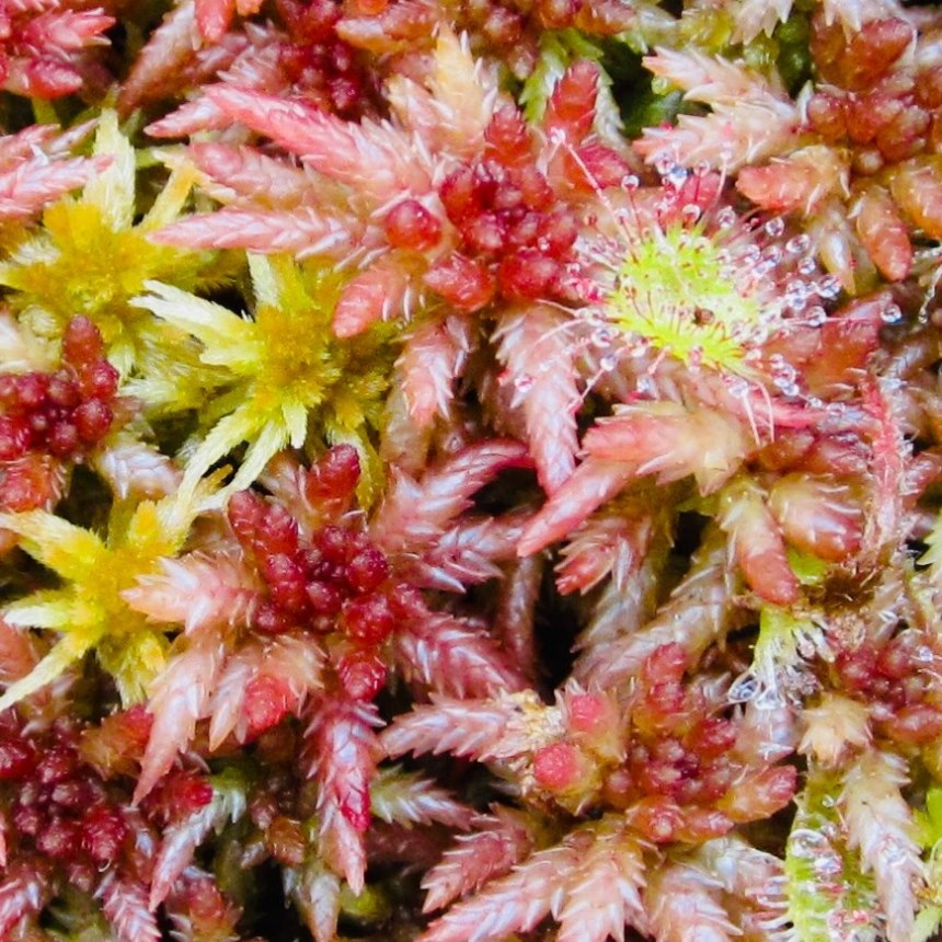 Sundews at Big Bog