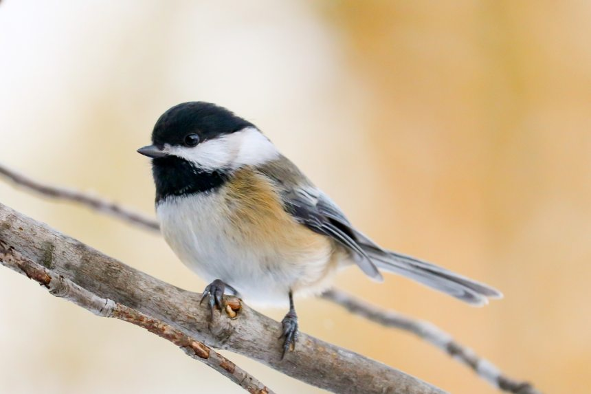 birds-black-capped-chickadee-maine-nature-1656164