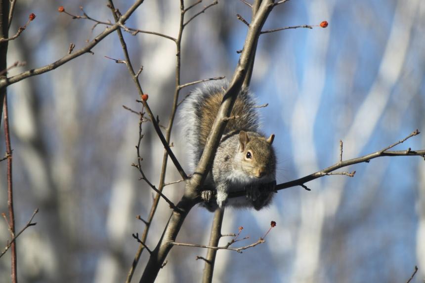 squirrel in crab apple-2