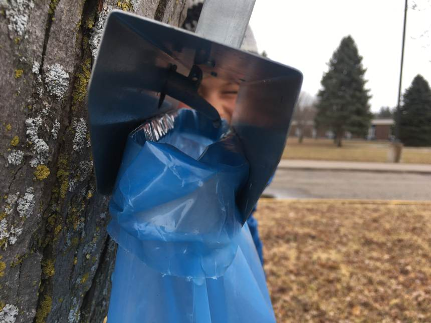 Maple sap drips into a bag at the Stillwater Middle School
