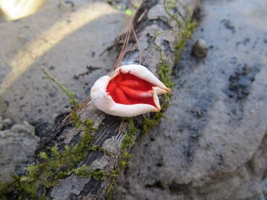 Scarlet cup mushroom in the woods near Osceola